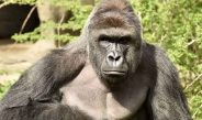 Sling-In Scheduled To Honor Fallen Gorilla Harambe